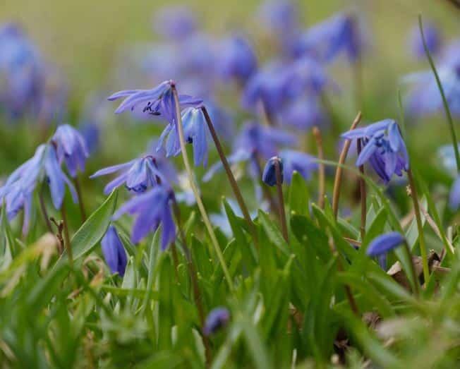 """Style Hannover 2.BlauesWunder KBW B - """"Blaues Wunder"""" mit Verspätung: Scillablüten jetzt in den Startlöchern"""