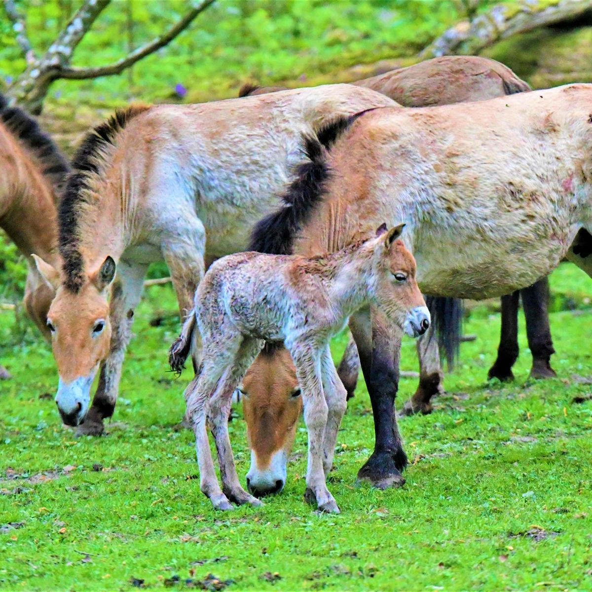 Style Hannover Wisentgehege Springe Wildpferde INSTA - Wisentgehege Springe - Wo das Herz der Natur schlägt